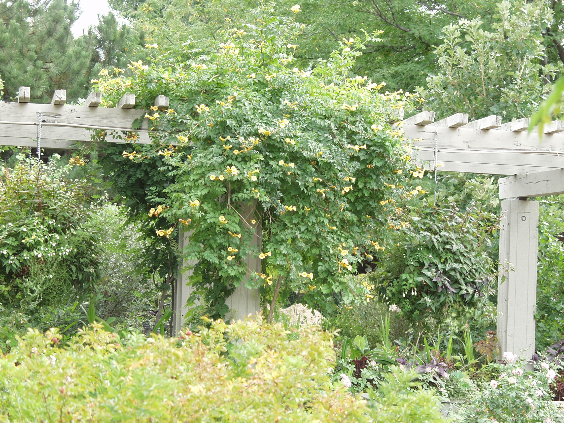 Trumpet vine yellow thetreefarm photo arbortanics inc yellow trumpet vinephoto arbortanics inc mightylinksfo