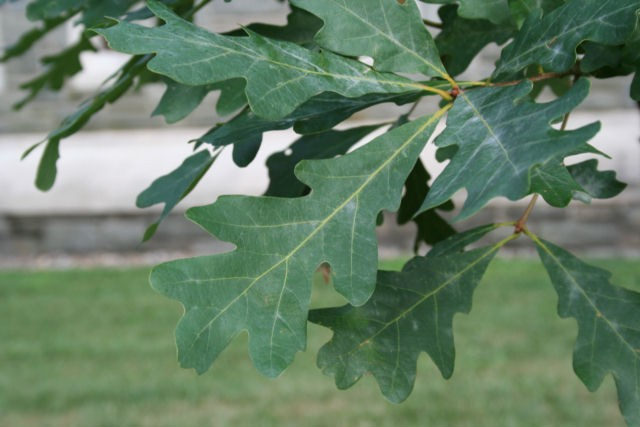 White Oak Leaf ~ Oak white thetreefarm