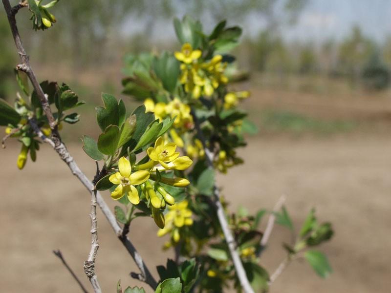 Currant yellow flowering thetreefarm yellow flowering currantphoto arbortanics inc mightylinksfo